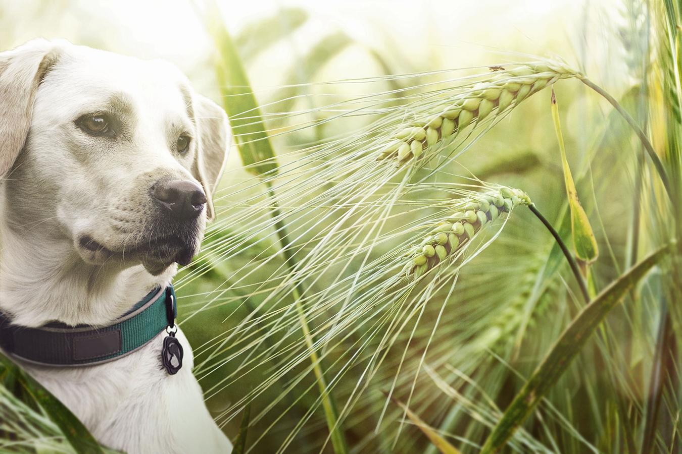 Dangers of Grass Seeds for Dogs | Australian Dog Lover