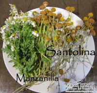 Manzanilla y Santolina: Santolina chamaecyparissus