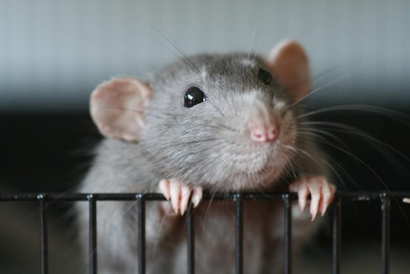 Rato castanho