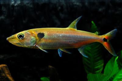 Red Tail Barracuda Si Anjing Berekor Merah Asal Amazon