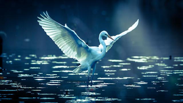 طائر البلشون الأبيض IMG_2343-57a993d92950a__880