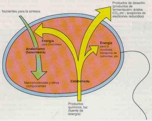 Microbiología: Metabolismo Bacteriano