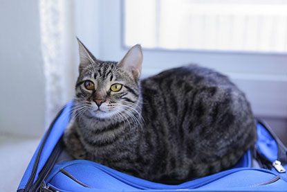 Tabby cat in suitcase