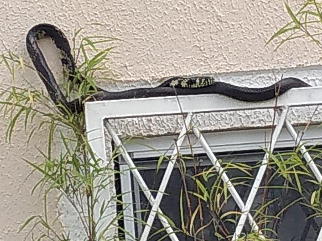 cd767764 30cb 49b4 bdd6 02a457a5e86c - Cobra assusta morador do Jardins Mangueiral em  janela de apartamento