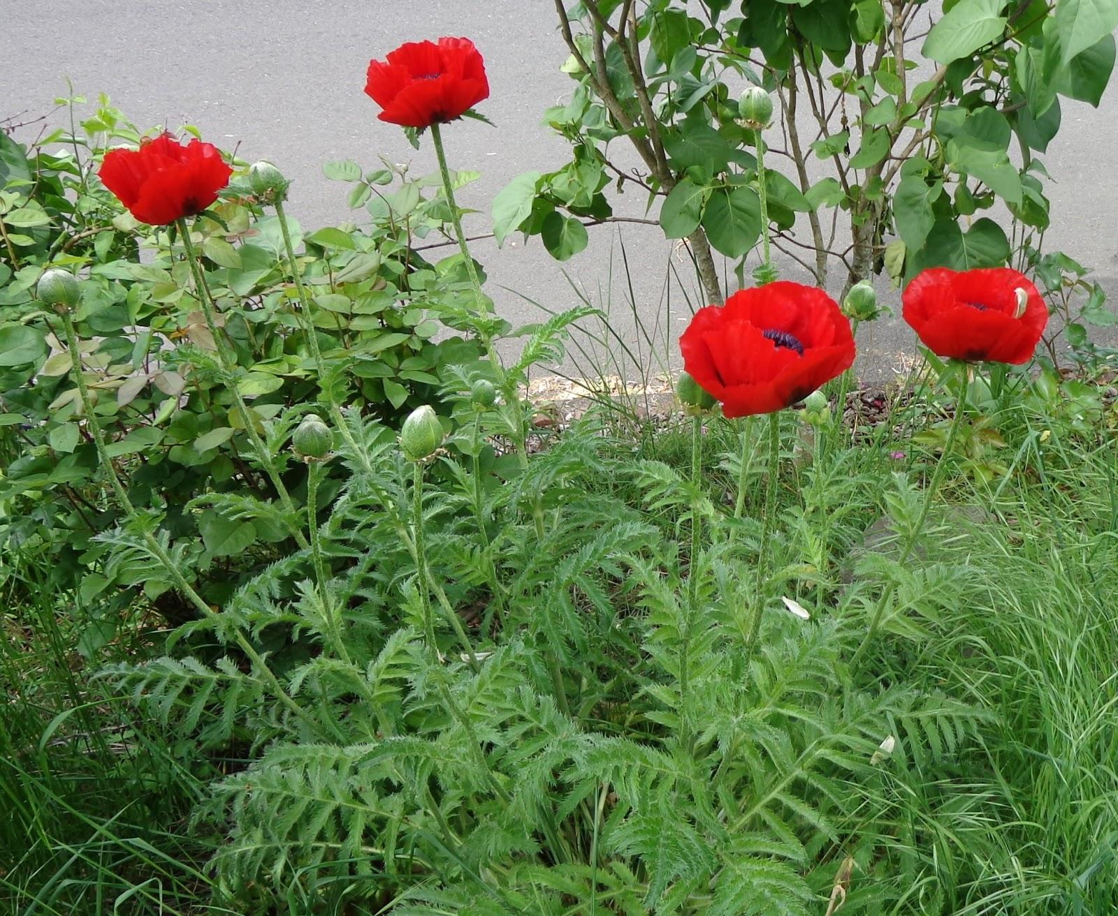 Asian opium poppy