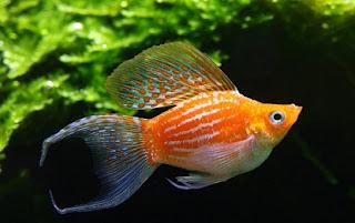 Cara Memelihara Ikan Guppy Ikan Hias Yang Lagi Popular