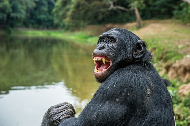 Primate study offers clues to evolution of speech