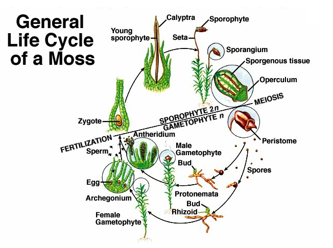 Jessica's wonderful world of plants: Mosses
