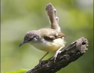 Burung Ciblek Kalung