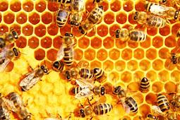 Panduan teknis Budidaya Ternak Lebah Madu