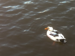 Photo of the magpie duck's return to Maryport Marina