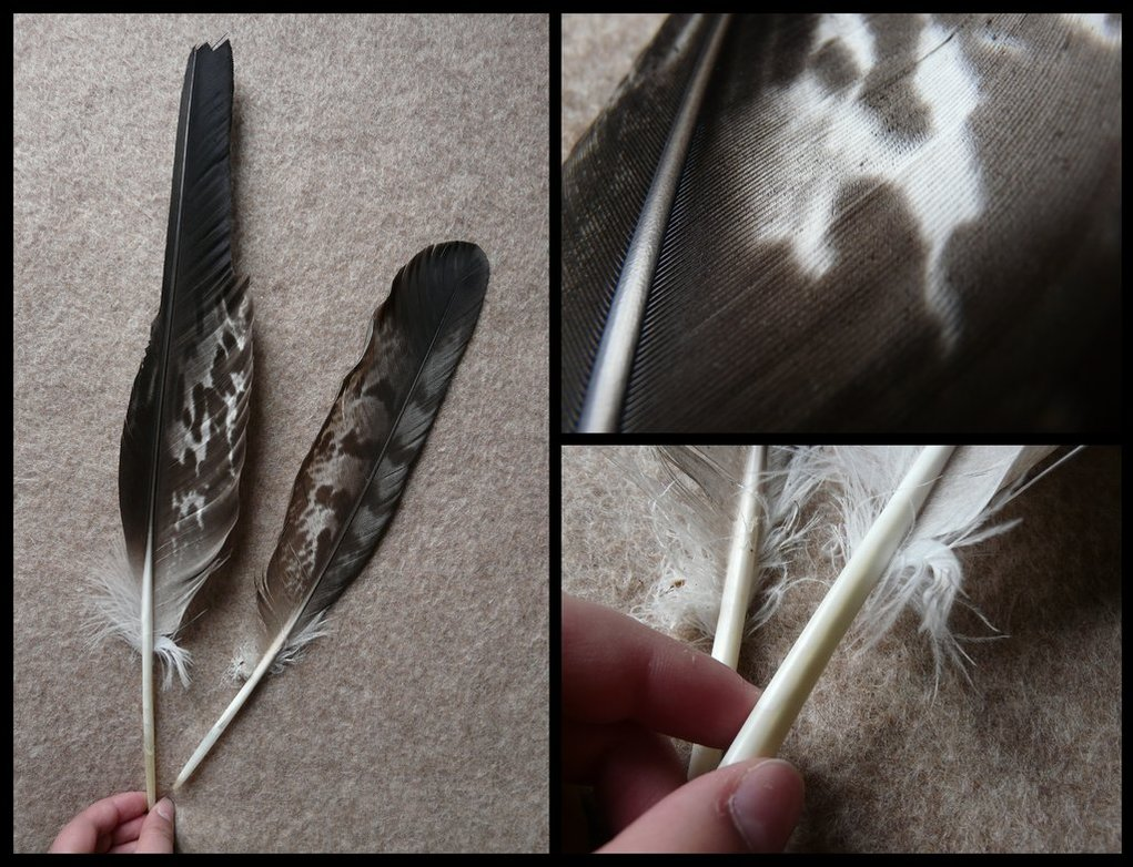 56 Meaning Of Bald Eagle Feather Eagle Of Meaning Bald Feather