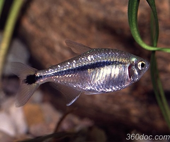 Blackline Tetra, Hyphessobrycon scholzei