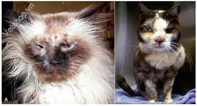 Hình 3: Mèo bị xưng mặt và lòi mắt do nấm Aspergillus Và Penicillium