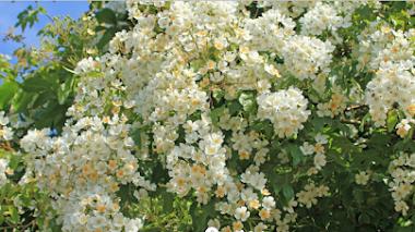 Rosa filipes 'Kiftsgate' brillando en julio en Kiftsgate Court Gardens