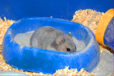 hamster mandi pasir