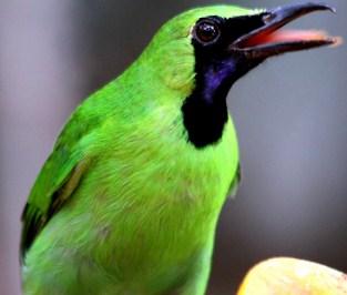 8 Ciri Ciri Burung Cucak Ijo Yang Bagus Serta Memiliki Kualitas Terbaik
