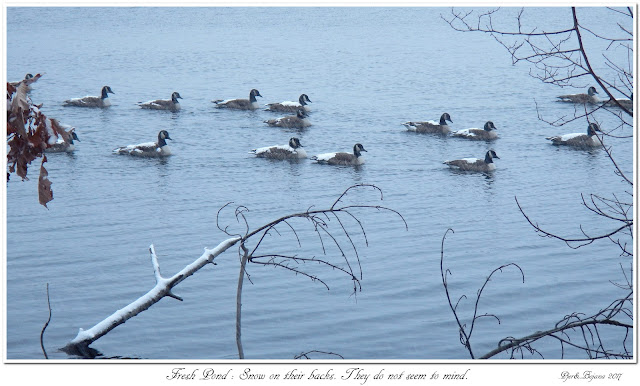 Fresh Pond: Snow on their backs. They do not seem to mind.