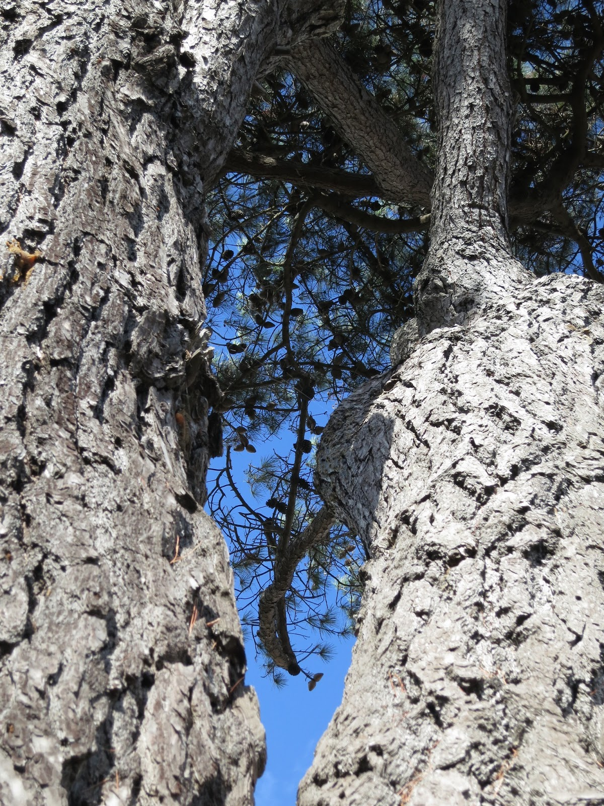 Looking between divided trunk to see cones against a blue sky high and beyond