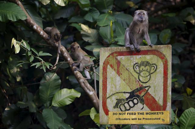 Обезьяны сидят на знаке, выпрашивая еду, на котором запрещается посетителям кормить обезьян