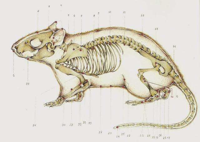 ratos-acupuntura