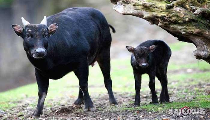 Hewan buas yang ada di Indonesia - Anoa