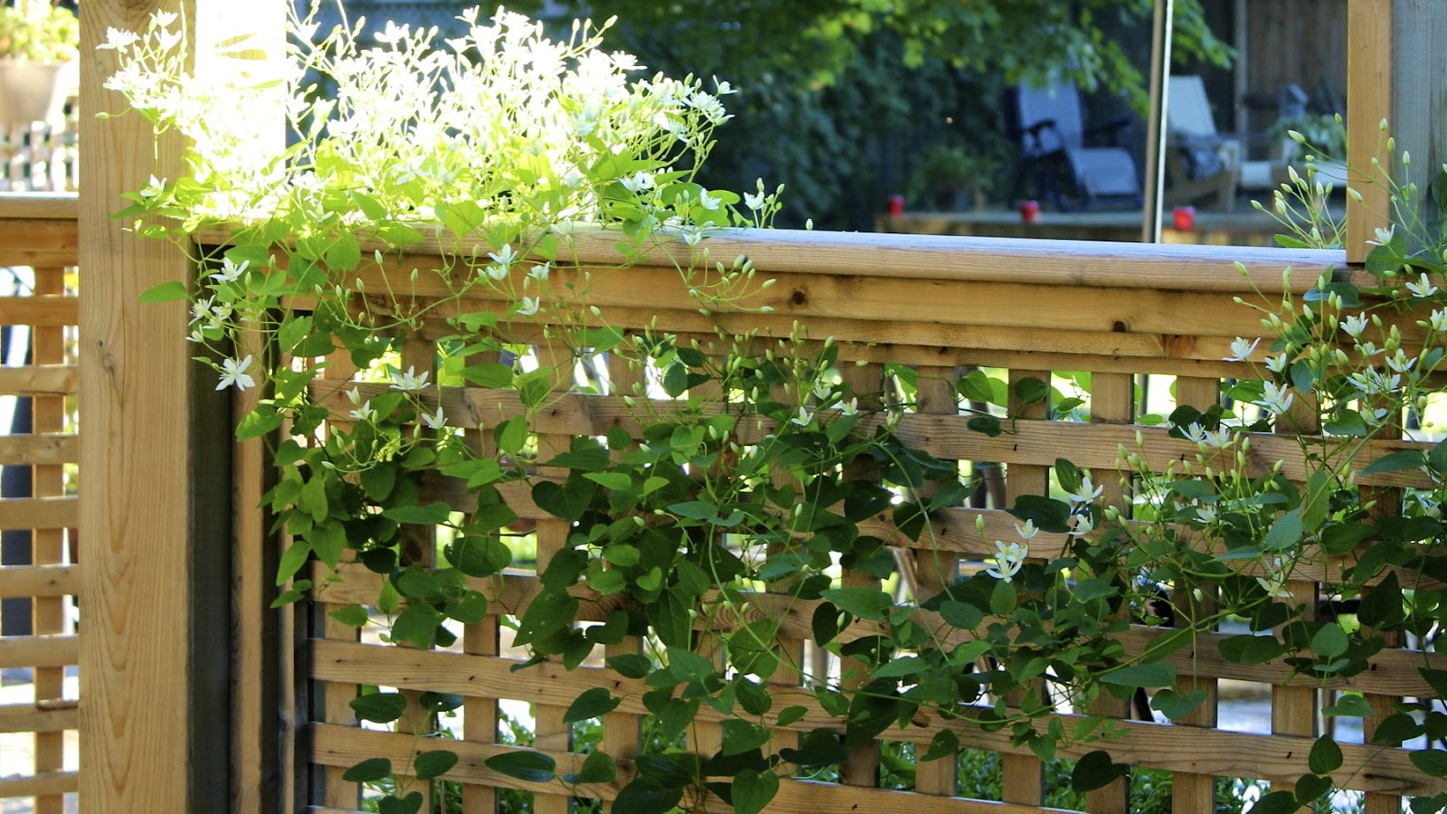 Softening The Edges With Sweet Autumn Clematis New House