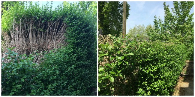 collage-of-two-images-hedge-half-pruned-and-hedge-finished