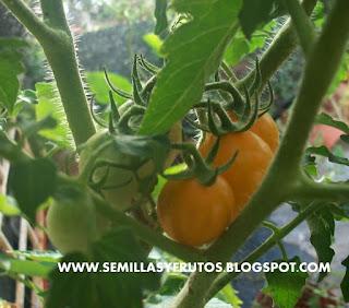 tomates cherry variedad golgen nugget