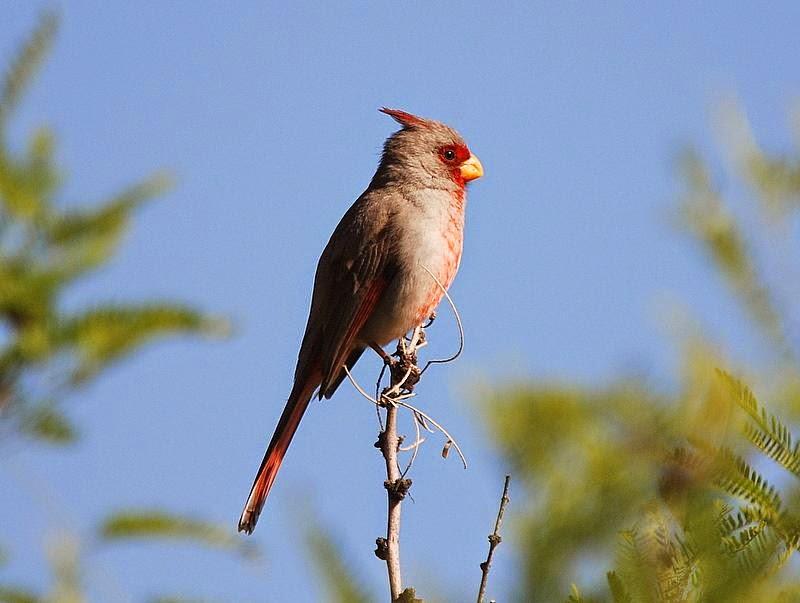 Cardenal pardo, Cardinalis sinuatus