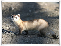 Ferret Animal Pictures
