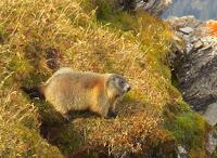 marmotta della Hammerspitze