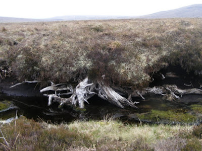 Bog Oak exposed in Allt a' Choire Bhuidhe. Image: Sarah McGuire Creative Commons