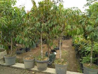 bibit-durian-montong.jpg
