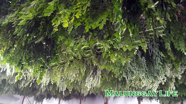 malunggay-air-dry