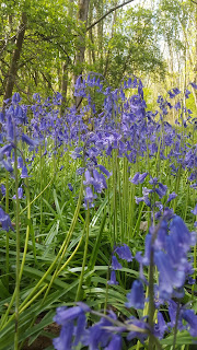 A close up of some bluebells in College Wood, Nr Nash Buckinghamshire