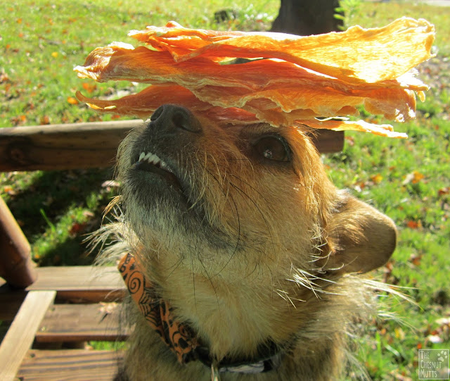 Jada balancing Meaty Mugs Chicken Jerky Dog Treats