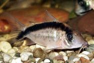 Jenis Ikan Corydoras narcissus