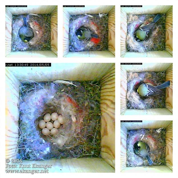 Sesong nr 9 med kamera i fuglekassa står for dør, det våres i lufta :-)     I 2016 kunne vi følge kjøttmeiser og deres unger i kasse nr 3. Om noen flytter inn i noen av de 4 kassene i 2017 gjenstår og se,  det er stadig overnattingsgjester på besøk :-)   Kamera går online 24/7 og oppdateres hvert 5 sekund men om natta er det naturlig vis mørkt.   Direkte linker til oversikt for alle 4 fuglekassene:  http://www.ekanger.net/fuglekasser/fuglekasse_oversikt.html