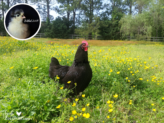 What's the Average Lifespan of a Backyard Chicken?