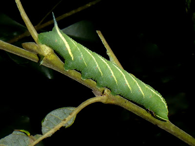 Smerinthus caecus caterpillar