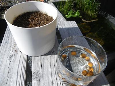 どんぐり 種蒔き 鉢