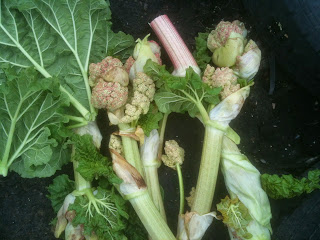 How to deal with rhubarb problems.