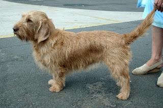 Basset Fauve de Bretagne-dogs-pets-dog breeds