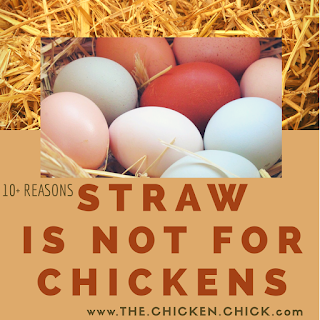 10+ Reasons Straw is Not for Chickens