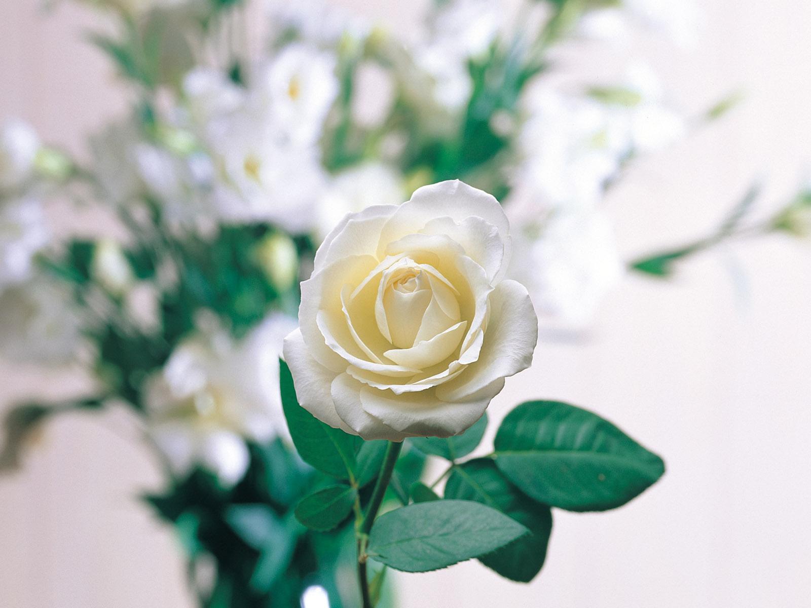 Rose Wallpaper: White Rose Wallpaper HD