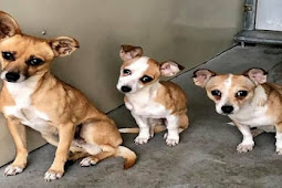 Entire family Chi stuck in this high kill hell-hole, mom, dad & baby girl they're all terrified!