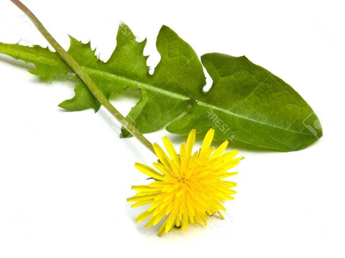 beneficios de las hojas de diente de león