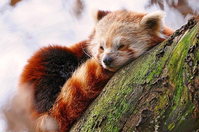 http://www.herrerillo.com/2017/01/panda-rojo-ailurus-fulgens.html