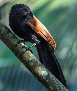 Centropus sinensis